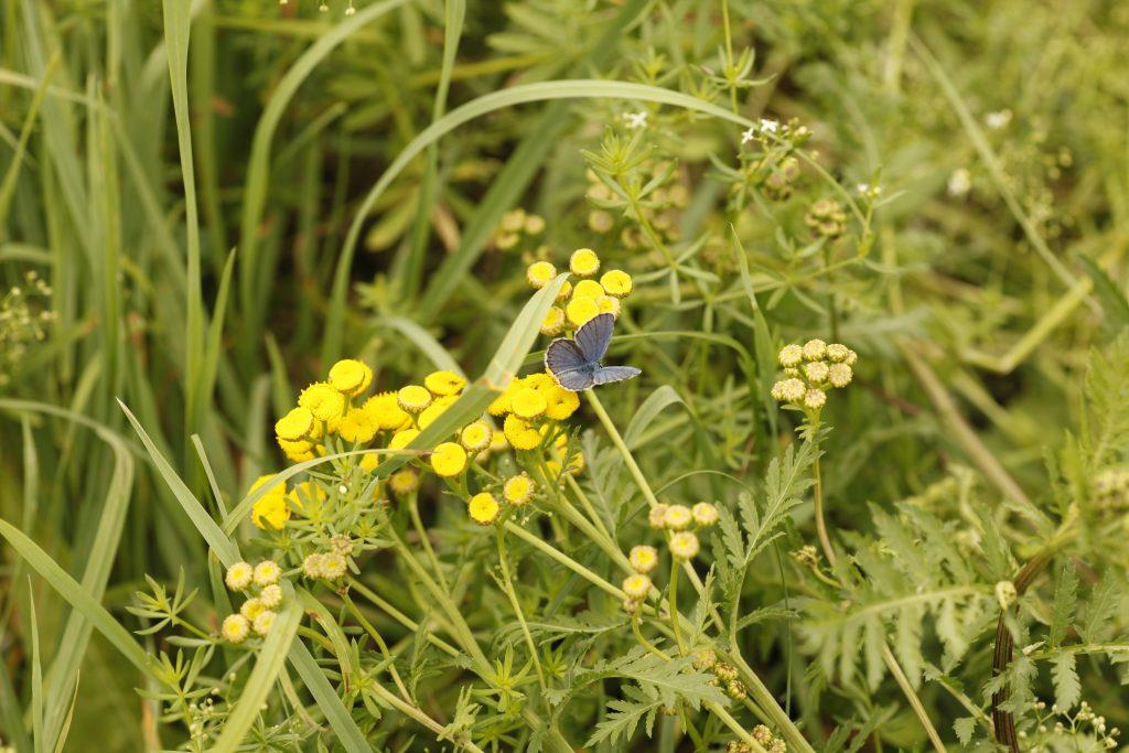 Das BIld zeigt eine grüne Wiese mit Blumen. Auf einer Blume sitzt ein dunkler Schmetterling.